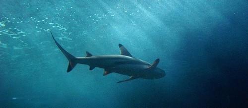 Squalene – Óleo de Fígado de Tubarão